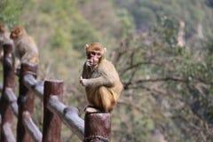 Wilder Rhesusfaktor-Makaken-Affe, der Apfel isst Stockfoto