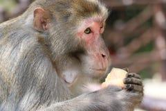 Wilder Rhesusfaktor-Makaken-Affe, der Apfel isst Stockbilder