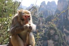 Wilder Rhesusfaktor-Makaken-Affe, der Apfel isst Lizenzfreies Stockfoto