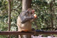 Wilder Rhesusfaktor-Makaken-Affe, der Apfel isst Stockbild