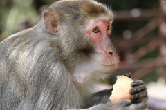 Wilder Rhesusfaktor-Makaken-Affe, der Apfel isst Lizenzfreie Stockfotos