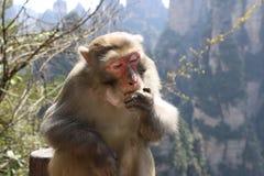 Wilder Rhesusfaktor-Makaken-Affe, der Apfel isst Stockfotos