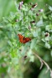 Wilder romantischer Schmetterling auf der Blume Lizenzfreie Stockfotos