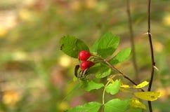 Wilder rosafarbener Zweig mit zwei hellen roten Früchten Stockbild
