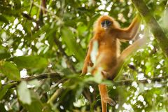 Wilder roter Blatt Affe oder Langur Lizenzfreie Stockbilder