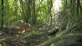 Wilder roter Fuchs stock footage
