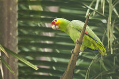 Wilder roter Lored-Papagei auf toter Palme Stockbilder