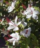 Wilder's White Hawaiian  Hibiscus arnottianus Single Hibiscus with pink stamens. Stock Photo