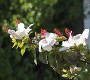 Wilder's White Hawaiian Hibiscus arnottianus Single Hibiscus with pink stamens. stock image