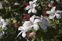 Wilder's White Hawaiian  Hibiscus arnottianus Single Hibiscus with pink stamens. Royalty Free Stock Photography