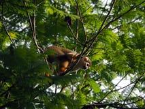 Wilder Saimiri Capuchinaffe in einem Baum in einem Wald in tropischem Surinam Südamerika stockfotos