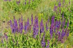 Wilder Salbei-Blumen Stockbild
