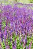 Wilder Salbei-Blumen Lizenzfreie Stockfotos