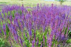 Wilder Salbei-Blumen Stockfotografie