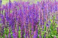 Wilder Salbei-Blumen Lizenzfreies Stockbild
