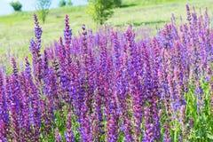 Wilder Salbei-Blumen Stockbilder