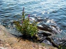 Wilder schöner blühender Busch auf dem felsigen Ufer des Sees, der natürlichen Sonneneruption und des bokeh Stockfoto
