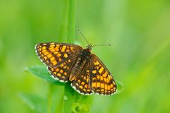 Wilder schöner Schmetterling, Heath Fritillary, Melitaea-athalia, herein sitzend auf den grünen Blättern, Insekt im Naturlebensra stockbild