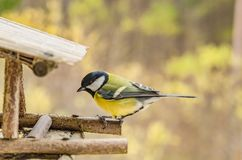 Wilder schöner Vogel mit einem gelben Bauch im Fall, der nach Lebensmittel in der Zufuhr sucht Stockbild