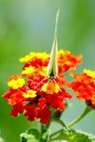 Wilder Schmetterling III Stockfotografie