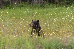 Wilder schwarzer Bär in Nord-Ontario, Kanada Lizenzfreies Stockfoto