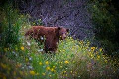 Wilder schwarzer Bär auf dem Gebiet von Blumen Stockfotos