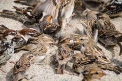 Wilder Spatzenvogel auf einem Sandstrand lizenzfreie stockfotos