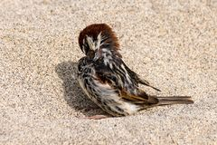 Wilder Spatzenvogel auf einem Sandstrand lizenzfreie stockbilder