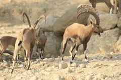 Wilder Steinbock Ein Gedi in der Wüste von Judea, Heiliges Land stockbilder