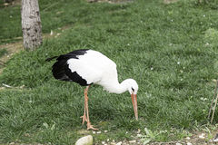 Wilder Storch in der Natur Stockbilder
