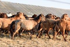 Wilder Team Horses im Winter Stockfotografie