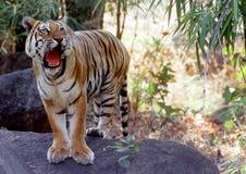 Wilder Tiger Lizenzfreies Stockfoto
