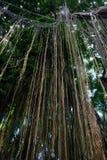 Wilder tropischer Dschungel am heiligen Affen Forest Sanctuary, Ubud Lizenzfreie Stockbilder