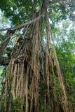 Wilder tropischer Dschungel am heiligen Affen Forest Sanctuary, Ubud Stockbild