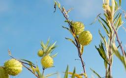 Wilder Unkrautballon-Baumwollbusch Stockfotografie