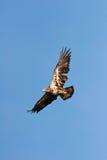 Wilder unreifer kahler Adler im Flug Stockfotos