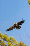 Wilder unreifer kahler Adler im Flug Stockbilder
