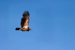Wilder unreifer kahler Adler im Flug Stockfotografie