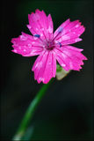 Wilder violetter Gartennelke parviflorum Epilobium Lizenzfreie Stockbilder