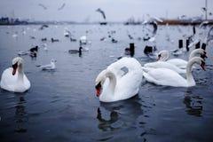 Wilder Vogel, der auf ein Schwarzes Meer, Odessa schwimmt stockfoto