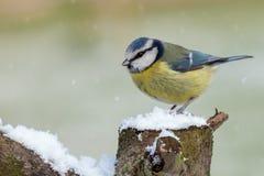 Wilder Vogel der erstaunlichen Blaumeise im Schnee Lizenzfreies Stockbild