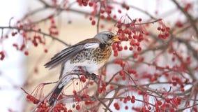 wilder Vogel, der rote Beeren isst stock footage