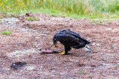 Wilder Vogel, dunkelbrauner Adler an einem hellen Sommertag gegen ein BAC Stockfoto
