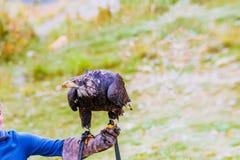 Wilder Vogel, dunkelbrauner Adler an einem hellen Sommertag gegen ein BAC Lizenzfreie Stockfotos