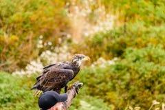 Wilder Vogel, dunkelbrauner Adler an einem hellen Sommertag gegen ein BAC Lizenzfreies Stockfoto