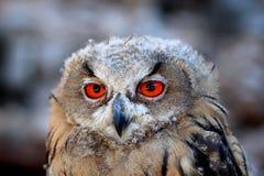 Wilder Wald des orange Vogels des Auges des Uhus großen Lizenzfreies Stockbild