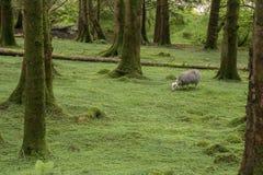 Wilder Wald in Schottland Stockfoto