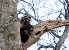 Wilder Waschbär im Baum Stockfotos