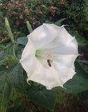 Wilder weißer Calla und Biene stockbild