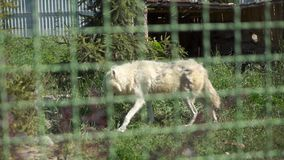 Wilder weißer Wolf im Zoo stock video footage